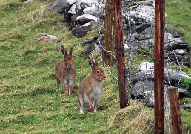 Zwei Hasen auf einer Wiese. Sie laufen an einer Steinmauer und einem Zaun entlang.