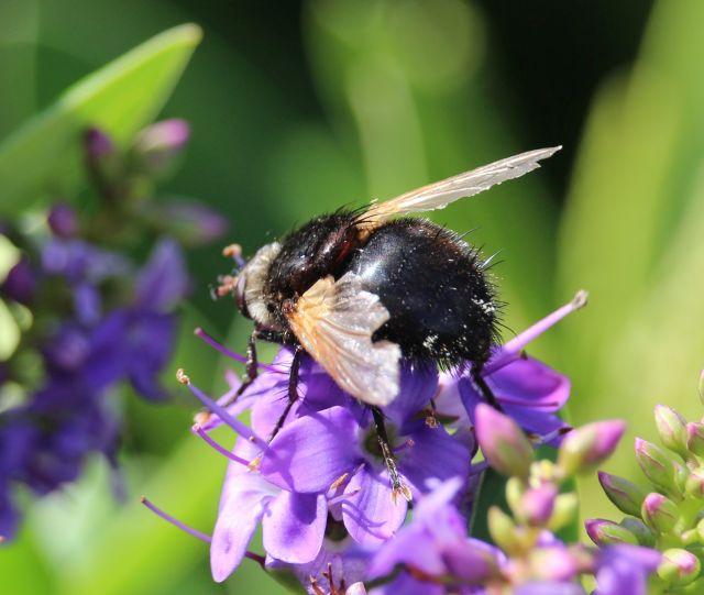 Hummel auf violetten Blüten.