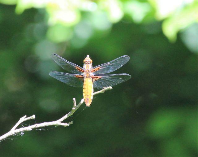 Gelbe Libelle mit offenen Flügeln im Flug.
