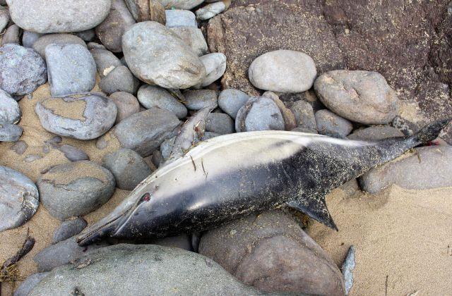 Ein toter silbrig glänzender Delfin zwischen abgerundeten Steinen am Meer.