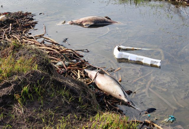 Zwei tote Delfine zwischen Plastikmüll am Küstensaum.