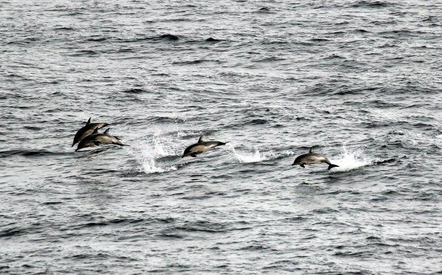 Eine Gruppe von Delfinen (Schule) springt aus dem Wasser.
