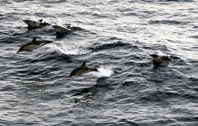 Delfin-Schule, die gerade durch die Dünung gleitet.
