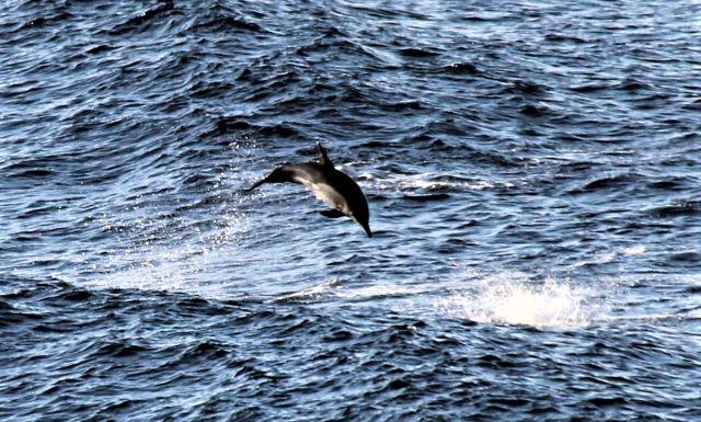 Ein Delfin springt aus dem Wasser durch die Luft.