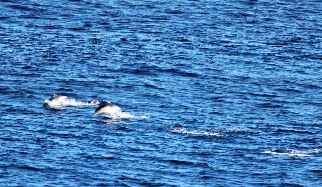 Zwei Delfine springen aus dem Wasser, zwei sind bereits wieder untergetaucht, aber die Wasserspritzer sind noch zu sehen.