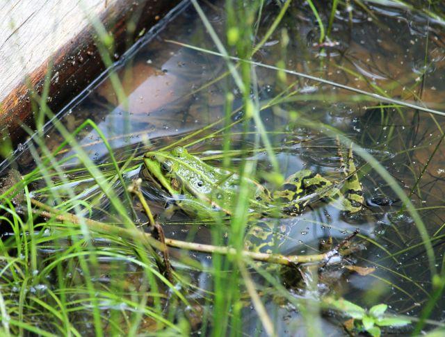 Grüner Frosch zwischen Gräsern in einem Teich.