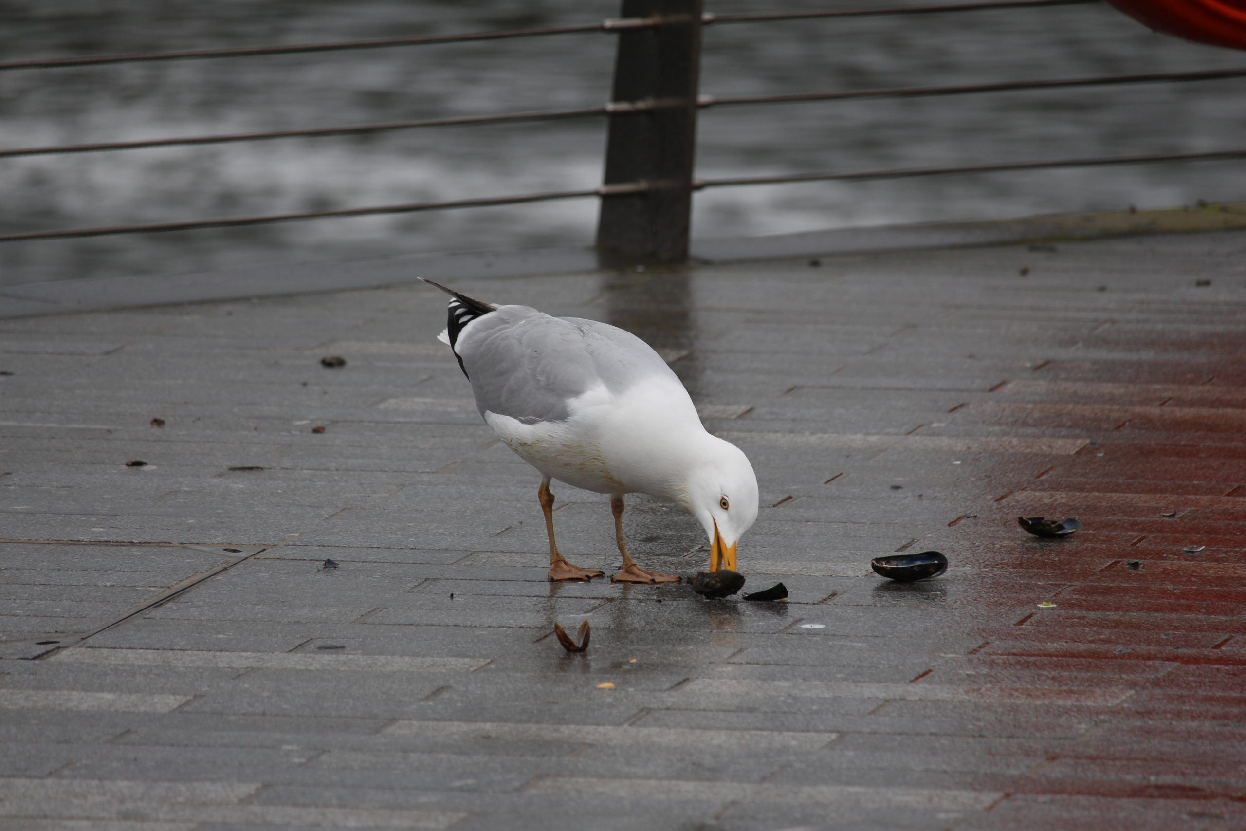 Grau-weiße Möwe beim Aufpicken von Muscheln.