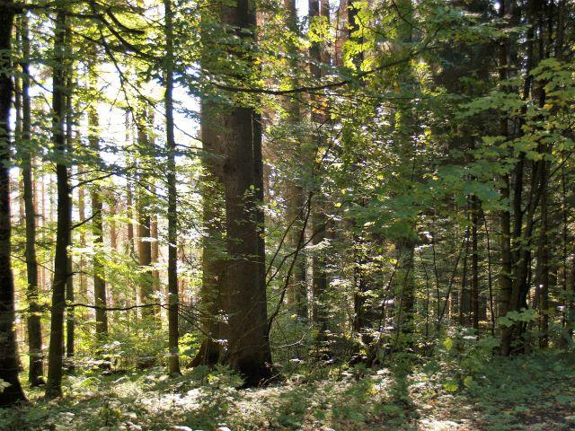 Dicke Stämme und kleinere Bäume mit Bättern werden von der Sonne beschienen.