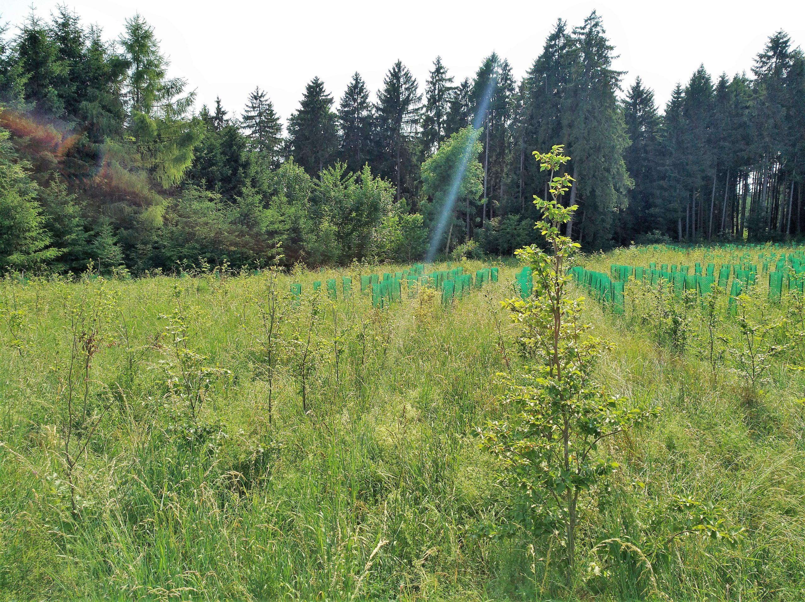 Auffosrtung, im Hintergrund insbesondere Fichten. Die kleinen Bäume sind überwiegend durch Kunststoffhülsen geschützt.