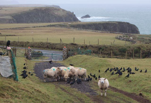 Einige Schafe mit hellbrauner Wole umgeben von Krähen. Im Hintergrund das Meer.