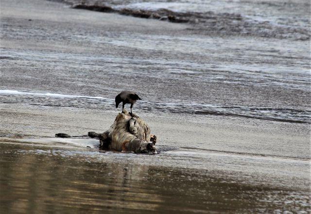 Eine Krähe auf dem angespülten Körper eines toten Schafs.