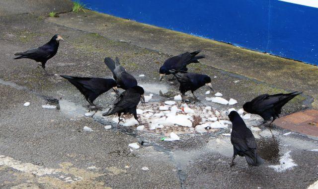 Mehrere Saatkrähen verspeisen auf dem Boden Essensreste.