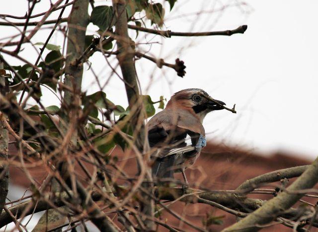 Eichelhäher mit einem Ästchen im Svchnabel. Er baut sein Nest in das Efeu an einem alten Baum.