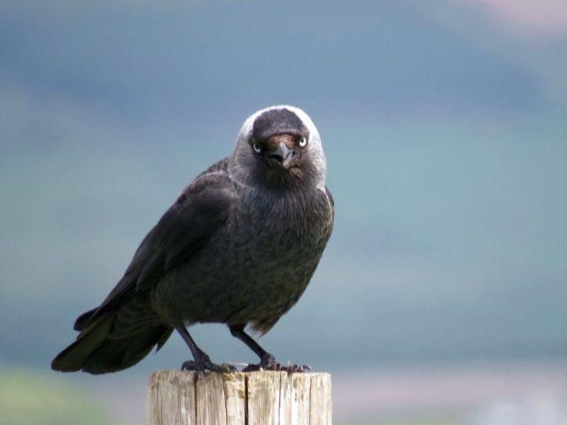 Eine Dohle sitzt auf einem Holzpfosten. Sie ist weitgehend schwarz mit grauen Federn am Hinterkopf.
