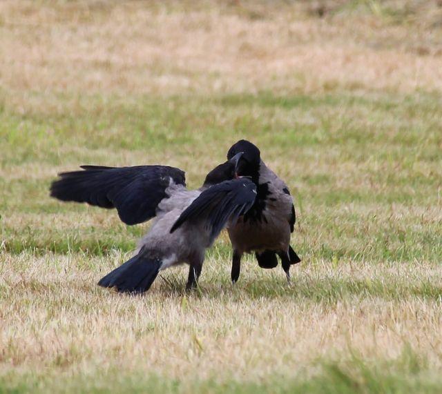 Krähenpaar mit Jundvogel, der mit den Flügeln flattert und so um Essen bittet.