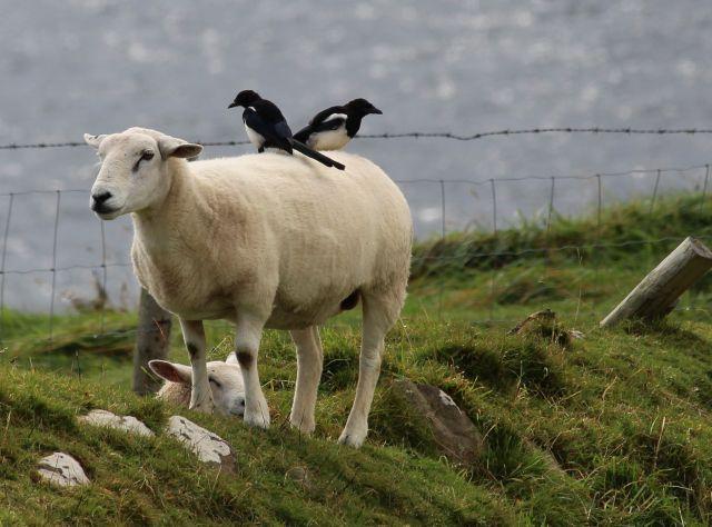 Zwei schwarz-weiße Elstern auf einem Schaf mit hellbrauner Wolle. Im Hintergrund das Meer.