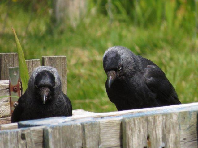 Zwei Dohlen sitzen hinter dem oberen Teil einer Holzpalette. Sie schauen sehr nachdenklich.