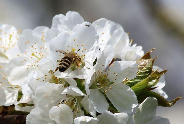 Biene auf weißer Obstbaumblüte.
