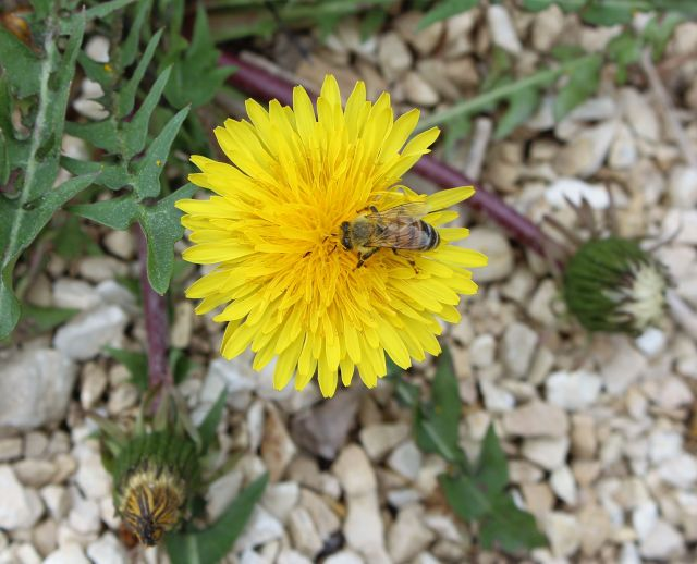 Biene auf einer gelben Löwenzahnblüte.