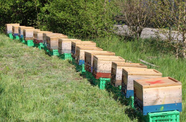 Lange Reihe heller Bienenstöcke aus Holz auf grünen Kisten. Zahlreiche Bienen schwärmen vor den Eingängen.
