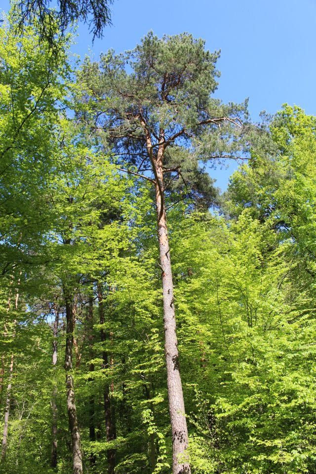 Mischwald aus Kiefern und Laubbäumen.