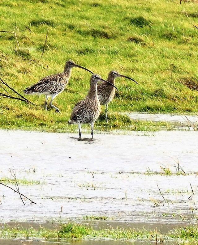 Drei bräunliche Brachvögel mit etwas gebogenem Schnabel auf einer grünen Weide an einer Überschwemmungsfläche.