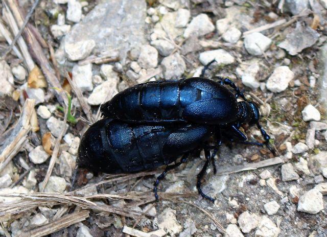 Zwei Ölkäfer. Das kleinere Männchen auf dem Weibchen. Sie schimmern bläulich-schwarz.