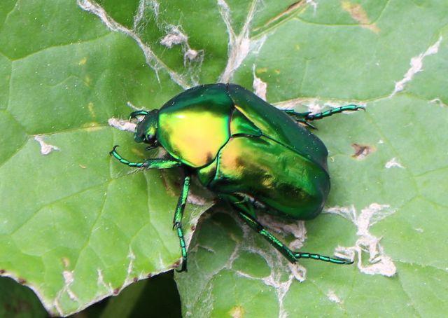 Ein Großer Rosenkäfer. Er glänz grünlich bis golden und sitzt auf einem Blatt.