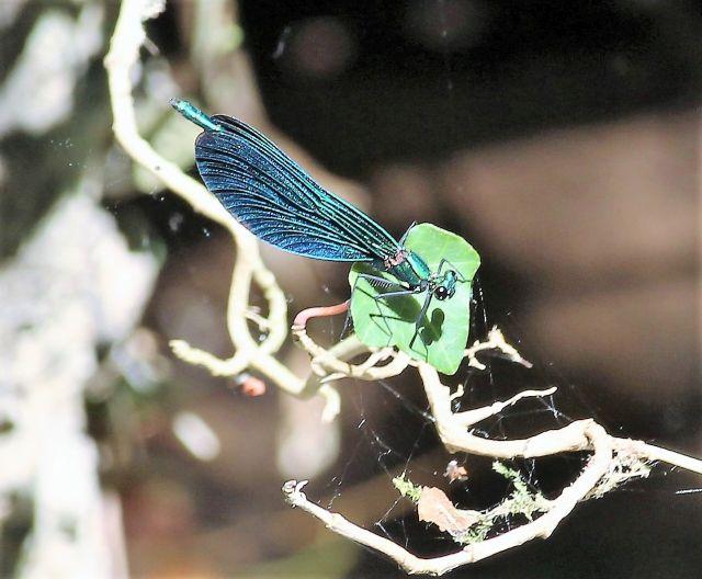 Eine blaue Libelle auf einem Ast.