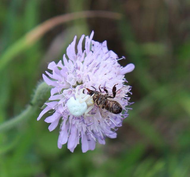 Eine weiße 'Veränderliche Krabbenspinne' mit ihrer Beute - einem Inekt - auf einer bläulichen Blüte.