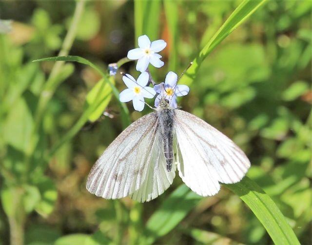 Ein 'Weißling'. Der Schmetterling sitzt auf einer Vergissmeinnichtblüte.
