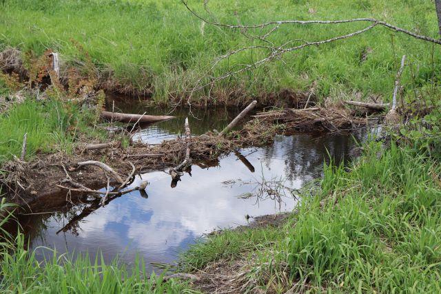 Kleiner Biberdamm aus dicken Ästen und weiterem Material. Das Wasser wurde zu einer kleinen Überflutungsfläche aufgestaut.
