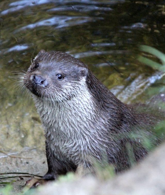 Fischotter mit dunkelgrauen Haaren im Gesicht und hellerer Behaarung am Vorderkörper schsaut aus dem Wasser heraus.