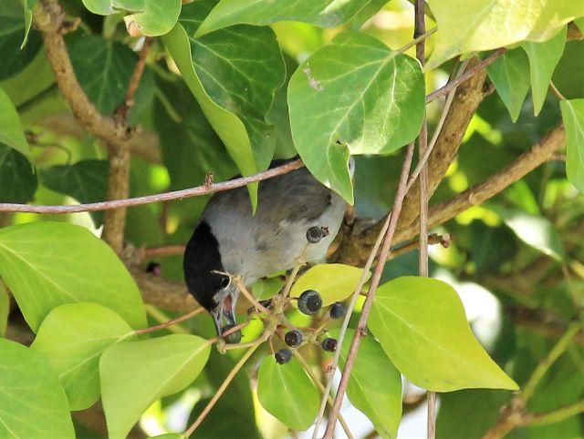 Eine Mönchsgrasmücke mit einer Efeubeere im Schnabel. Sie hat einen grauen Körper und einen schwarzen Kopf.