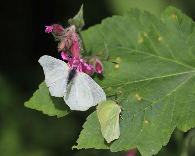 Ein weißer und ein gelber Schmetterling sitzen auf einem grünen Blatt bzw. an der violetten Blüte.