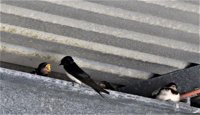 Schwalbe füttert Jungvogel.