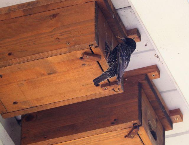 Ein Star mit braun-schwarzem Gefieder hängt an einem Holznistkasten.