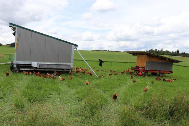 Hühner auf einer Wiese mit mobilen Ställen.