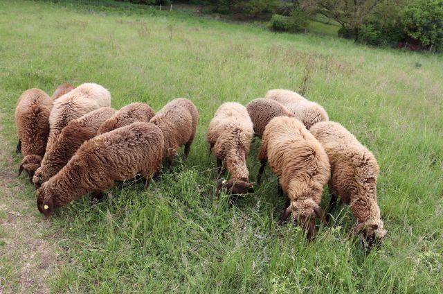 Braune Schafe grasen auf einer Weide.