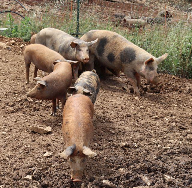 Mehrere bräunliche Schweine auf einer Fläche, in der sie such wühlen können.