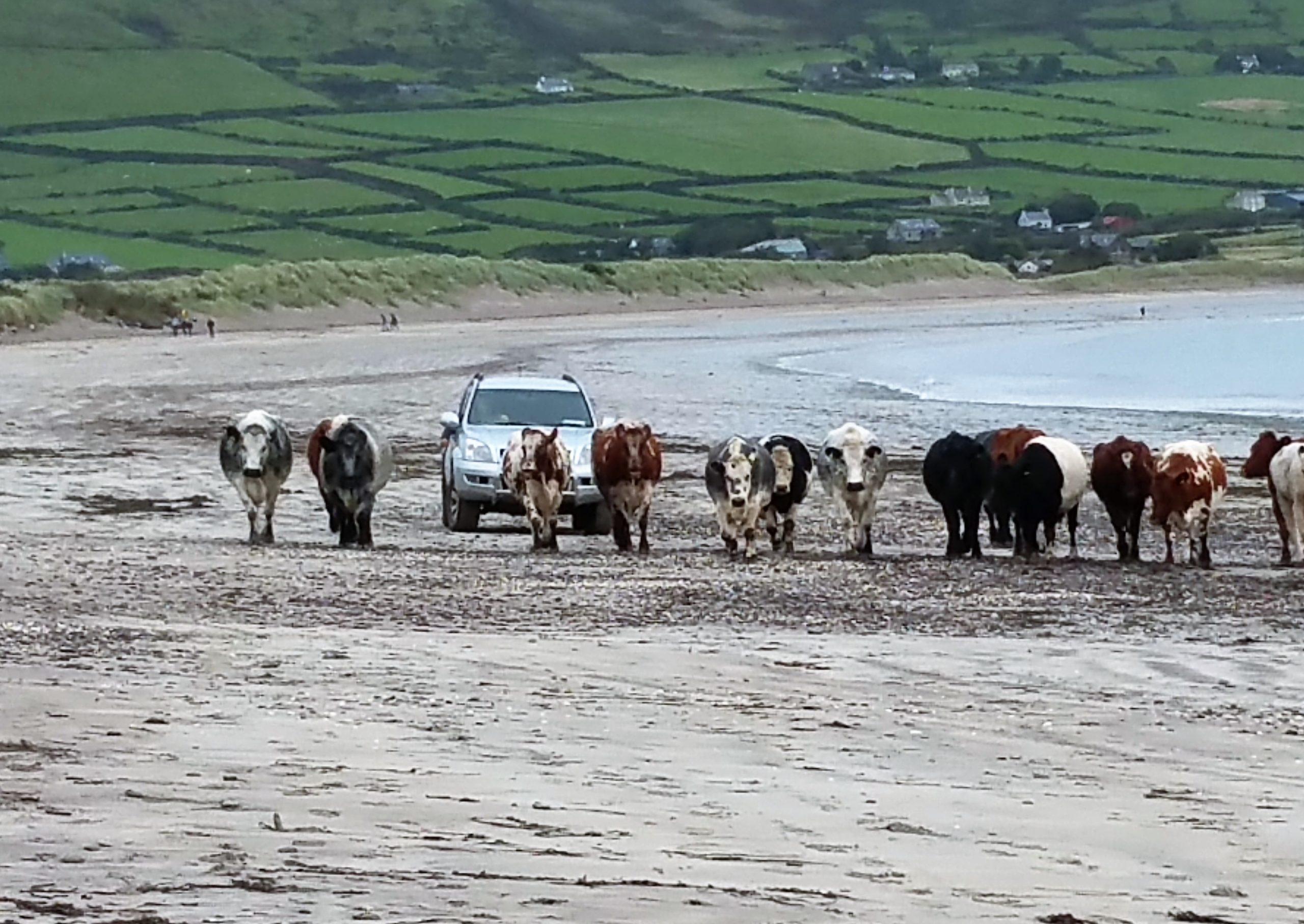 Ein irischer Farmer treibt seine Kühe aus dem Auto heraus langsam an einem Strand entlang.