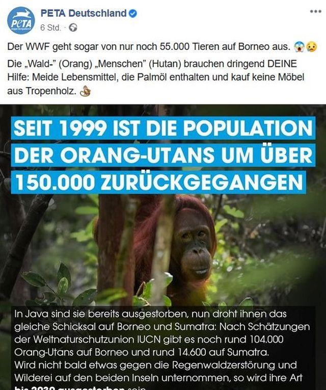 """Peta-Post: """"Seit 1990 ist die Population der Orang-Utans um über 150 000 zurückgegangen. Im Bild ein Orang-Utan mit Ästen."""