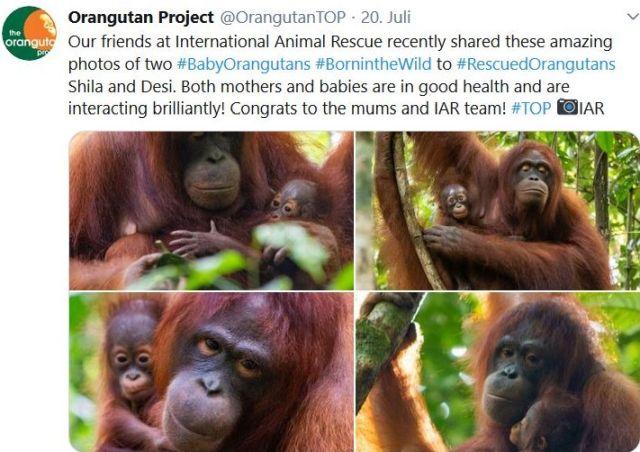 Tweet mit Fotos von Orang-Utans, die ausgewildert wurden und Nachwuchs bekamen.
