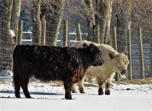 Ein helles und ein dunkelbraunes Rind stehen im Schnee.