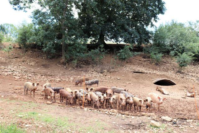Zahlreiche Schweine auf einer Weidefläche.