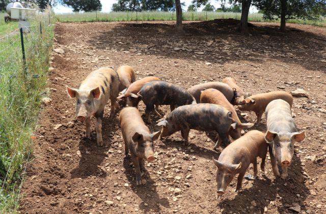 Bräunliche Schweine mit dunkleren Flecken auf der Weide.