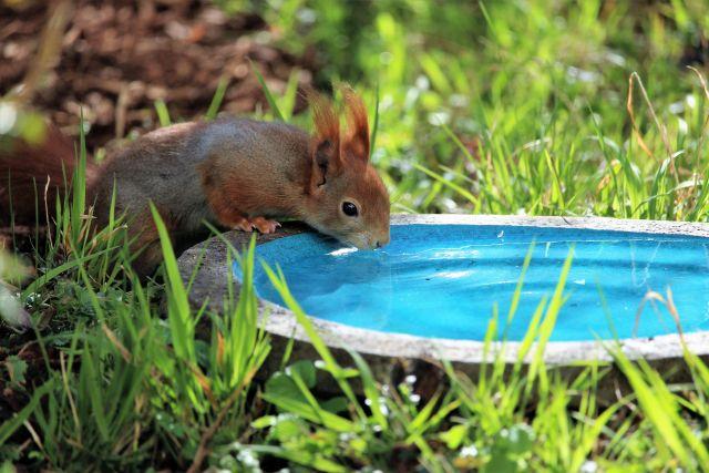 Eichhörnchen mit braunem Fell an einer blauen Volgeltränke beim Trinken. Grünes Gras um die Vogeltränke.