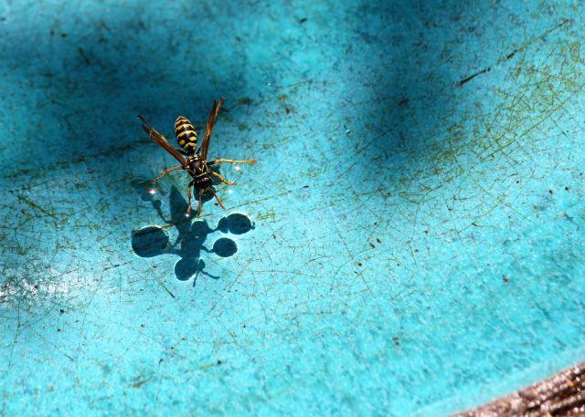 Insekt auf der Wasserfläche einer Vogeltränke. Das Wasser schillert bläulich.