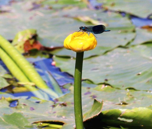 Blaue Libelle auf einer noch geschlossenen gelben Seerosenblüte.