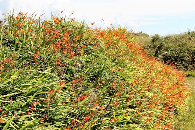 Montbretien am Wegesrand. Die Blüten sind rötlich-orange, die langen Blätter grün.
